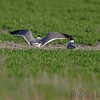 Laughing Gull <br /> Long Neck Road <br /> St. Mary's County, Maryland <br /> 4/13/15