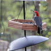 Red-bellied Woodpecker <br /> Wildewood <br /> St. Mary's County, Maryland <br /> 04/18/15