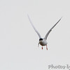 Forster's Tern <br /> Indian River Inlet, Delaware <br /> 4/20/15