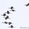Glossy Ibis <br /> Indian River Inlet, Delaware <br /> 4/20/15