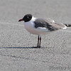 Laughing Gull <br /> Ocean City, Maryland <br /> 4/21/15