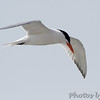 Royal Tern <br /> Ocean City, Maryland <br /> 4/21/15
