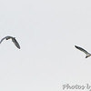 Tricolored Herons <br /> Indian River Inlet, Delaware <br /> 4/20/15