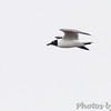 Laughing Gull <br /> Indian River Inlet, Delaware <br /> 4/20/15