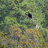 Black Vulture <br /> Eastern Shore of Virginia <br /> National Wildlife Refuge  <br /> 4/22/15