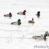Redheads and Mallards <br /> Heron Pond <br /> Riverlands Migratory Bird Sanctuary <br /> 1/20/15