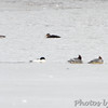 Mallard and American Black Duck <br /> Common Mergansers <br /> Ellis Island Parking Lot Bay <br /> Riverlands Migratory Bird Sanctuary <br /> 1/20/15