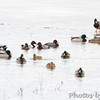 Redheads, Canvasback and Mallards <br /> Heron Pond <br /> Riverlands Migratory Bird Sanctuary <br /> 1/20/15