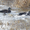 American Black Ducks <br /> Pintail Marsh input channel <br /> Riverlands Migratory Bird Sanctuary