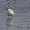 Mute Swan <br /> Ellis Island Parking Lot Bay <br /> Riverlands Migratory Bird Sanctuary