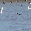 Common Goldeneye <br /> Carlyle Lake <br /> Clinton County, Illinois