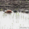 Northern Shoveler <br /> Spillway Marsh <br /> Riverlands Migratory Bird Sanctuary