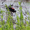 White-faced Ibis <br /> Tricolored Heron Marsh <br /> Riverlands Migratory Bird Sanctuary