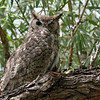 Great Horned Owl<br /> <br /> Sweetwater Wetlands 07/27/2014
