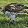 Red Tailed Hawk Eating Squirrel