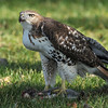Red Tailed Hawk and Squirrel