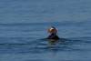 Tufted Puffin with fish