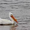 American White Pelican, shot on March 22, 2013. Mississippi River, Pike County, Illinois.