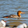 Red-breasted Merganser (female)