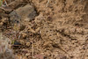 Pygmy Short-horned Lizard