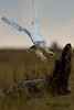 Snowy Owl (Bubo scandiacus).  The Snowy Owl is a large owl of the typical owl family Strigidae. Белая сова, или полярная сова.