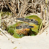 Rainbow Bee-eater (Merops ornatus) Chicks