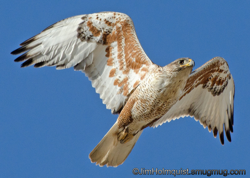 Ferruginous Hawk - Keeping an eye on me since I was near their nest.This was taken in the Snake River Birds of Prey area near Kuna, ID.