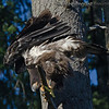 Bald Eagle fledgling - stretching wings near Olympia, Wa