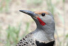 Northern Flicker, Red-shafted sub-sp, Cabin Lake, Oregon.