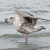 Gull ~ Juvenile (to be ID'd)