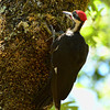 Pileated Woodpecker ~ Female