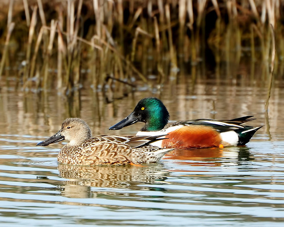 Northern Shoveler ~ Female and Male