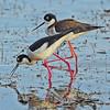 Black-necked Stilt ~ Male & Female