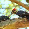 Pileated Woodpeckers ~ Female and Juvenile