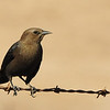 Brewer's Blackbird ~ Female