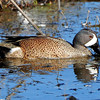 Blue-winged Teal ~ Male
