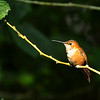 Allen's Hummingbird ~ Female
