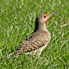 Northern Flicker ~ Female