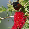 Orchard Oriole - April 2014