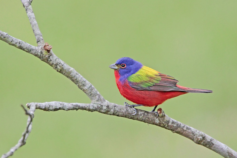 Painted Bunting - April 2014