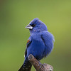 Blue Grosbeak - April 2014