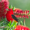 Scarlet Tanager - April 2014