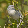 Tennessee Warbler - April 2014