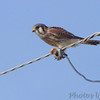 American Kestrel  Red School Rd and Confluence Point Rd