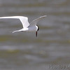 Forster's Tern  Ellis Bay  Riverlands Migratory Bird Sanctuary