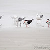 Black Skimmers and Laughing Gulls  Port Aransas beach  Texas