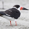 Black Skimmer  Port Aransas beach  Texas