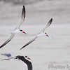 Black Skimmers  Port Aransas beach  Texas