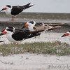 Black Skimmers  Rockport Beach City Park   Texas