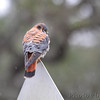 American Kestrel  Aransas National Wildlife Refuge  Texas